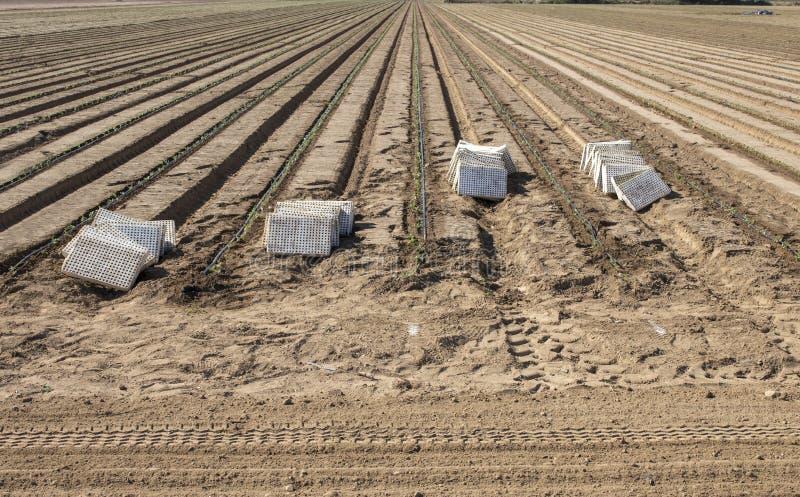 Onlangs geplante tomatenzaailingen stock afbeelding