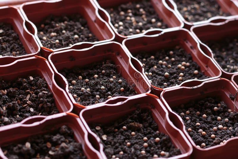 Onlangs geplante zadenkoriander, venkel en peterselie in het planten van potten royalty-vrije stock afbeeldingen
