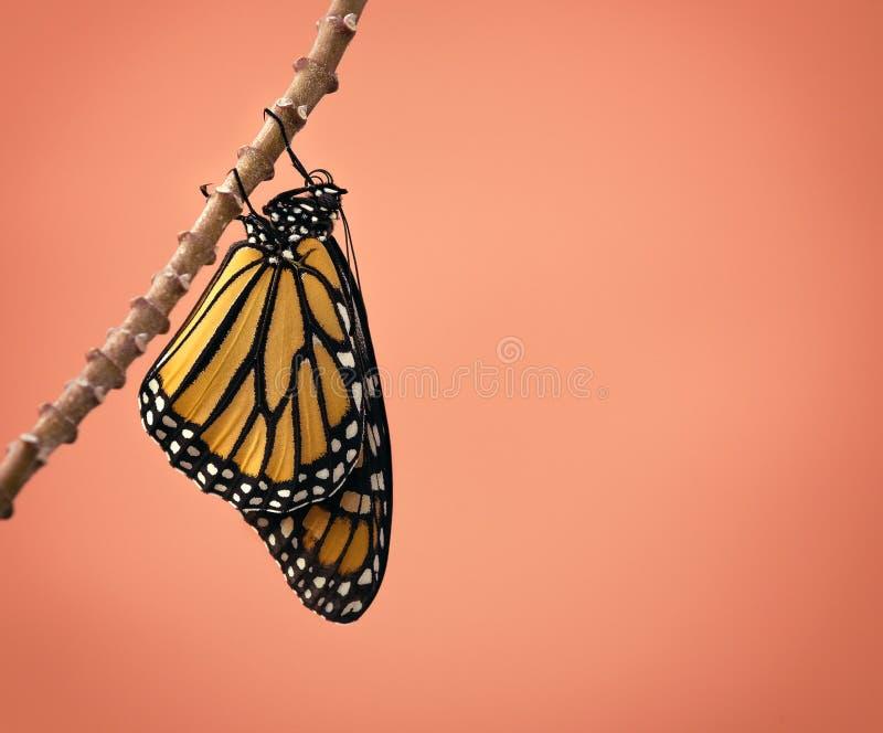 Onlangs te voorschijn gekomen monarchvlinder royalty-vrije stock afbeelding