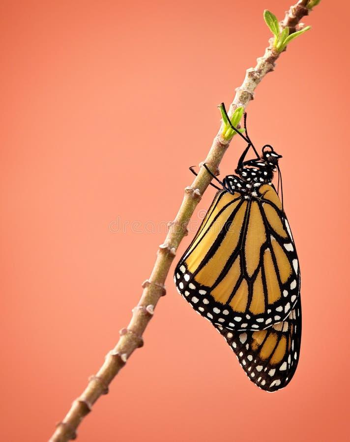 Onlangs te voorschijn gekomen monarchvlinder stock foto's