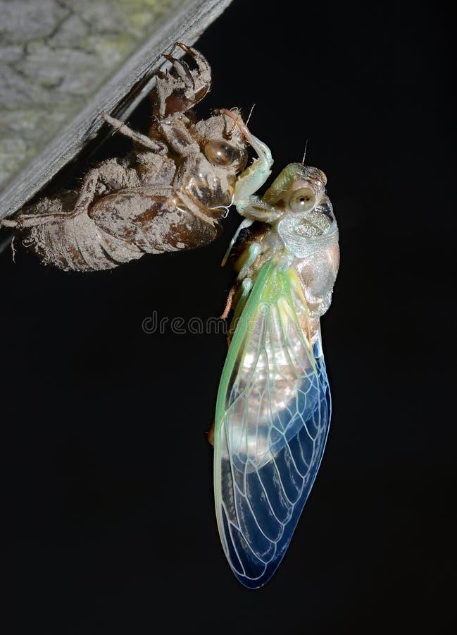 Onlangs Te voorschijn gekomen wacht de zeventien-Jaar Cicade op zijn Vleugels te verharden royalty-vrije stock foto's