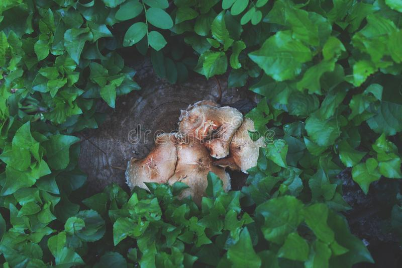Ono rozrasta się r na fiszorku w dżdżystym lesie zdjęcia stock