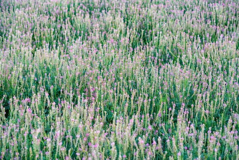 Onobrychis viciifolia Blütenstand oder gemeine Esparsette mit rosa Blumenblüte lizenzfreie stockbilder