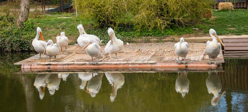 Onocrotalus del Pelecanus/gran pelícano blanco en un grupo en una plataforma en un lago imágenes de archivo libres de regalías
