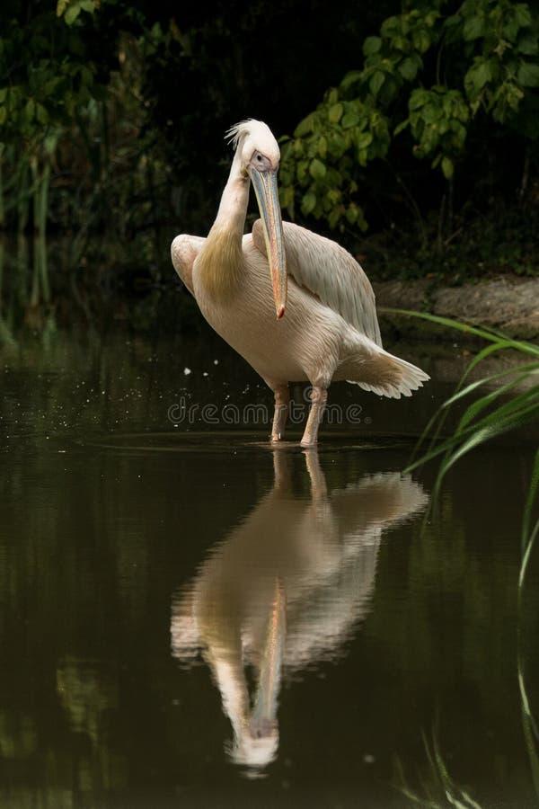 Onocrotalus en el parque zoológico, pelícano a solas del Pelecanus del pelícano que prepara sus plumas, pájaro rosáceo hermoso ce foto de archivo libre de regalías