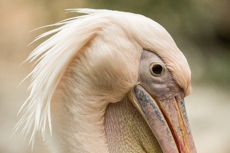 Onocrotalus en el parque zoológico, pelícano a solas, pájaro rosáceo hermoso cerca de la charca, pájaro del Pelecanus del pelícan fotos de archivo