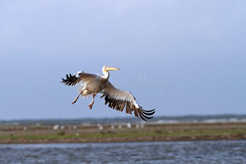 Onocrotalus Pelecanus κατά την πτήση στοκ φωτογραφίες με δικαίωμα ελεύθερης χρήσης