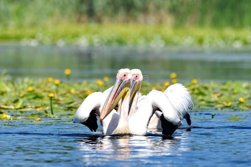 Onocrotalus pelecanus белых пеликанов стоковые фото