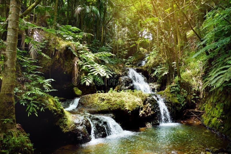 Onomea nedgångar som lokaliseras i Hawaii den tropiska botaniska trädgården på den stora ön av Hawaii fotografering för bildbyråer