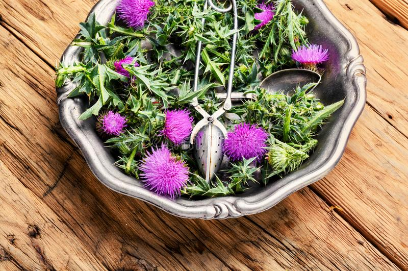 Onopordum och herbalism Tistel arkivfoton