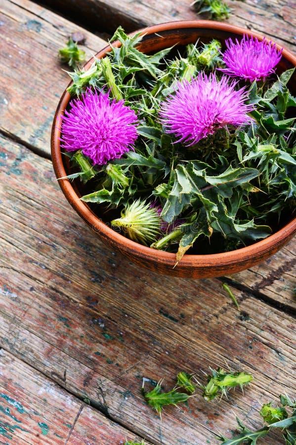 Onopordum och herbalism Tistel royaltyfria bilder