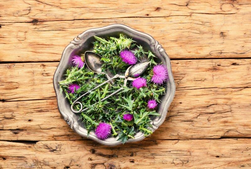 Onopordum och herbalism Tistel arkivfoto