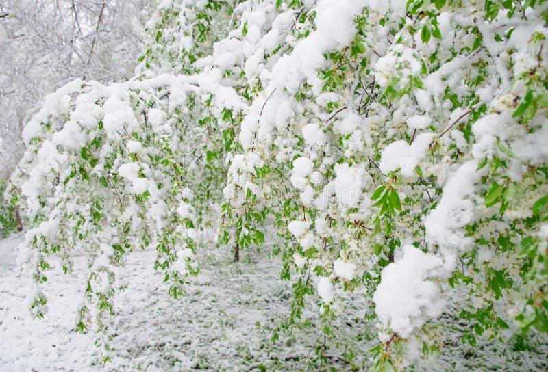 Onormalt naturligt fenomen Snöa, glasera, glasera i sen vår under blomningen av träd Filialen av blomstra körsbärFN royaltyfria foton