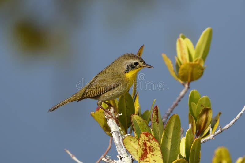 Onrijp Mannelijk Gemeenschappelijk Yellowthroat - Merritt Island, Florida royalty-vrije stock afbeelding
