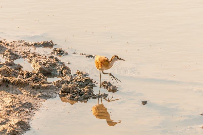 Onrijpe Afrikaanse jacana bij een waterhole in Noordelijk Namibië stock afbeeldingen