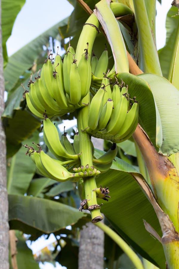 Onrijpe bananen op de boomstam, Indonesië stock fotografie