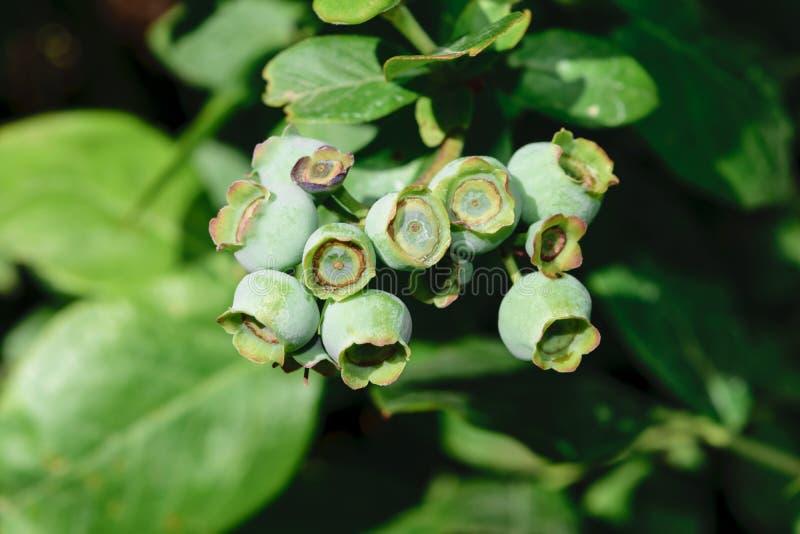 Onrijpe Groene Bosbessen die op Bush in Platteland groeien royalty-vrije stock foto