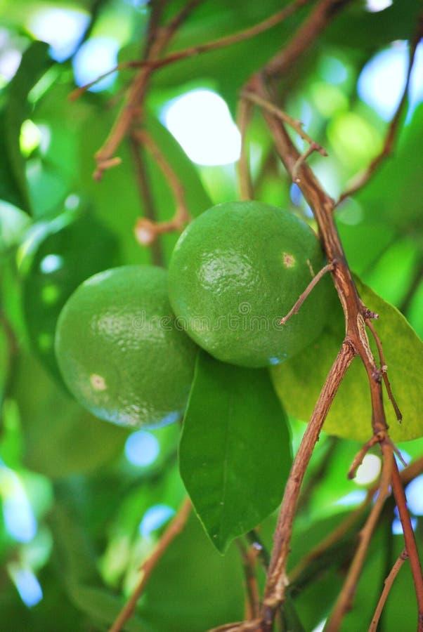 Onrijpe Groene Grapefruits stock foto's