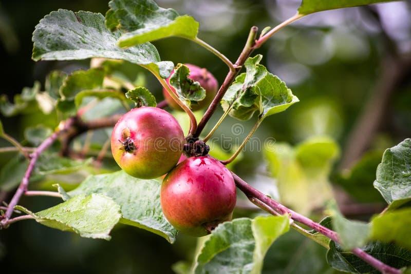 Onrijpe groene organische appel op een tak royalty-vrije stock foto's