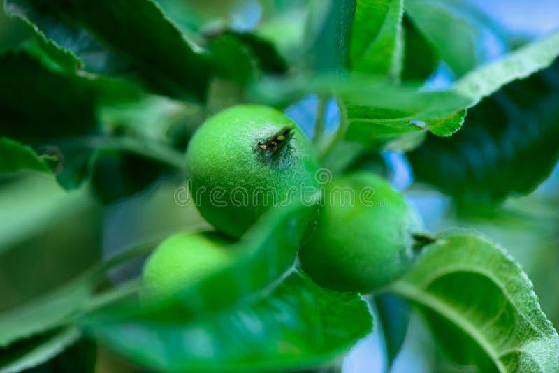 Onrijpe jonge groene appelen stock afbeeldingen