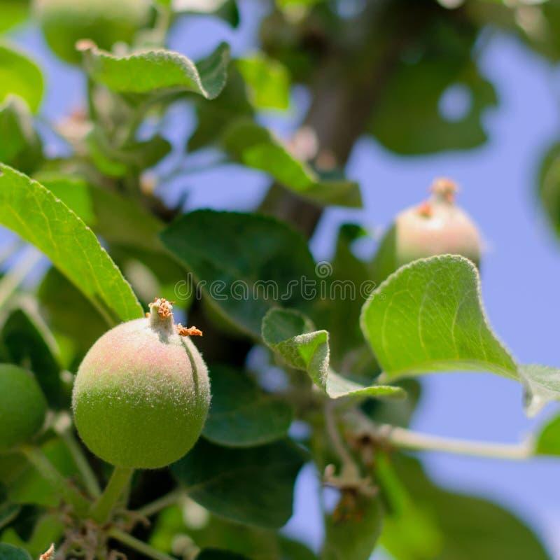 Onrijpe jonge groene appelvruchten tussen bladeren op de tak, stock afbeeldingen