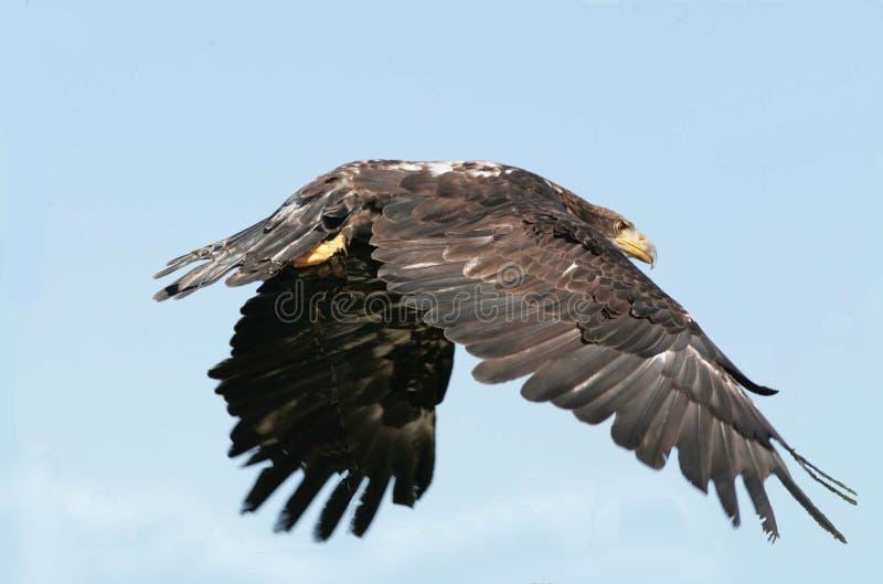 Onrijpe kale adelaar tijdens de vlucht royalty-vrije stock afbeelding