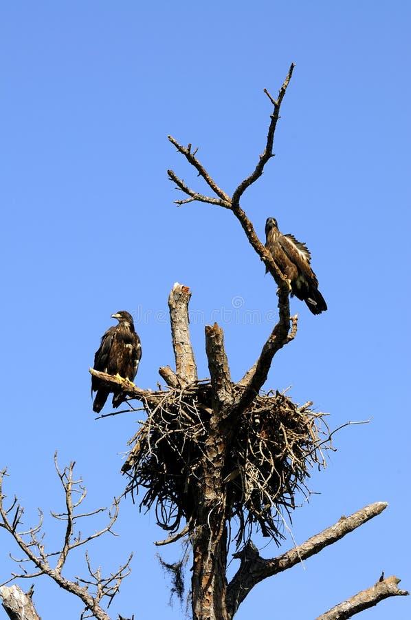 Onrijpe Kale Adelaars bij nest stock afbeelding