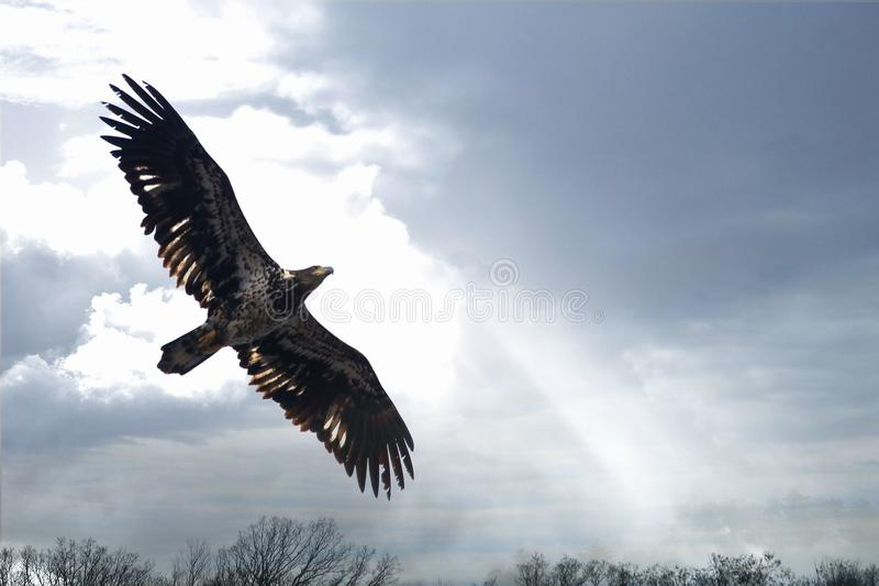 Onrijpe Kale Eagle en Wolken royalty-vrije stock afbeeldingen