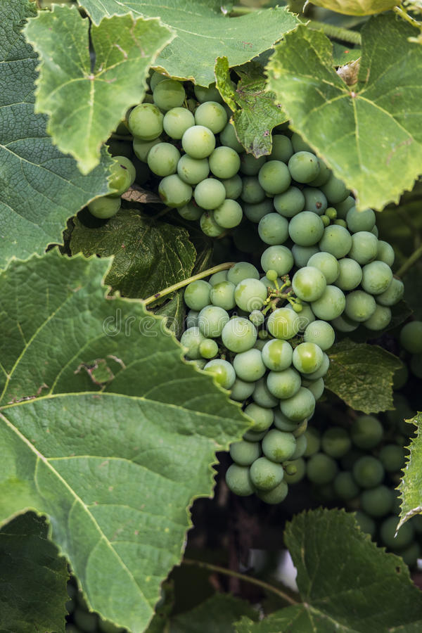 Onrijpe rode druiven royalty-vrije stock fotografie