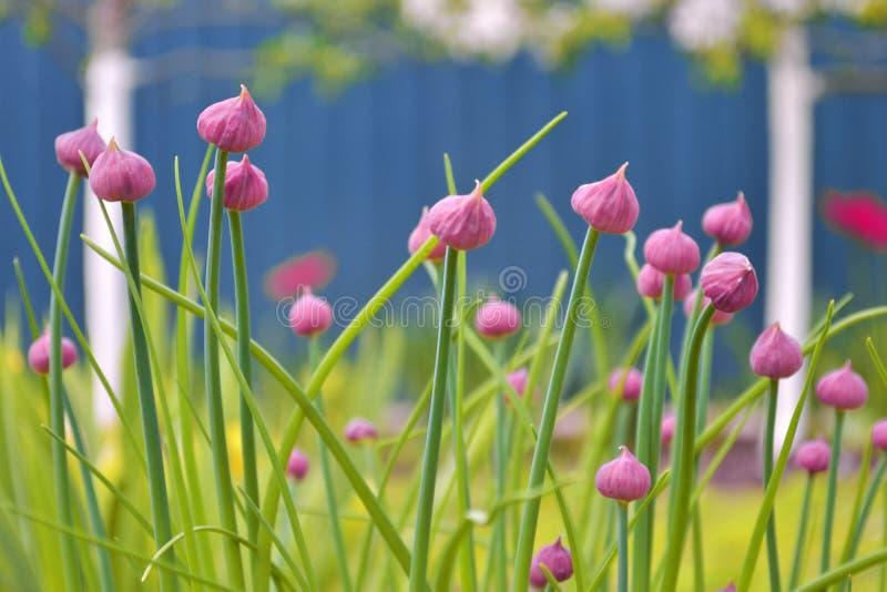 Onrijpe roze knoppen van decoratief knoflookallium in de tuin op de achtergrond van groen en bloeiende appelbomen stock afbeeldingen