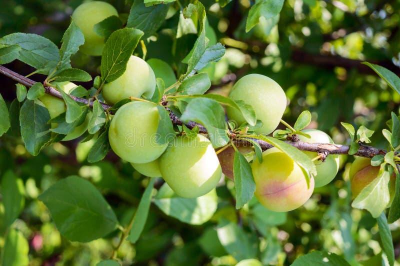 Onrijpe vruchten pruimen (verscheidenheid: Reine-claude) op de takken stock afbeelding