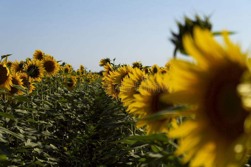 Onscherp beeldgebied van zonnebloemen met een blauwe hemelachtergrond royalty-vrije stock afbeeldingen
