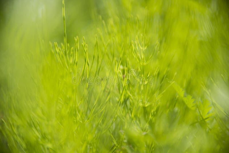 Onscherp groen wild gras stock foto