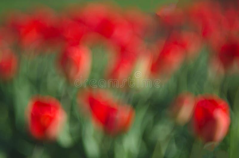 Onscherp heel wat rode tulpen abstracte achtergrond Het concept landschapsontwerp in de lente, het modelleren, het eindigen manor stock afbeeldingen