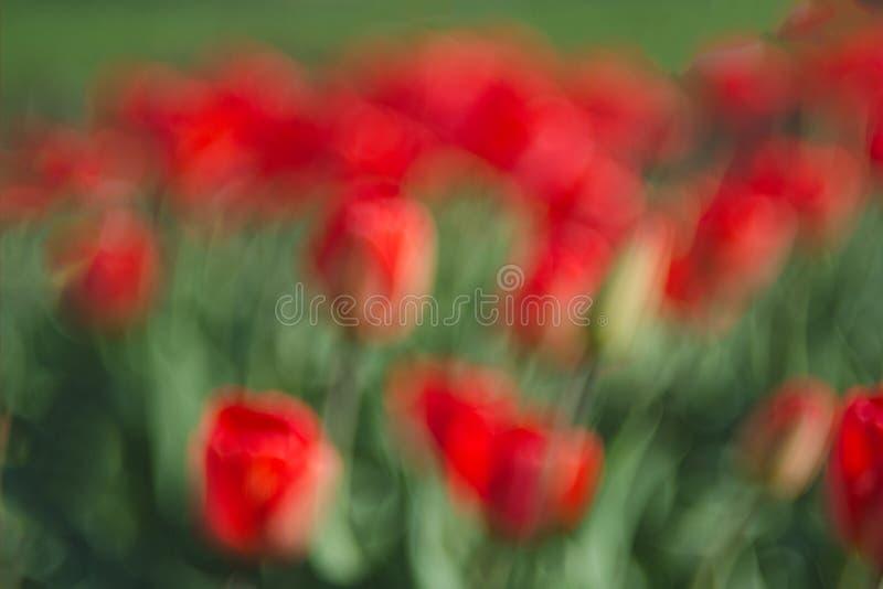 Onscherp heel wat rode tulpen abstracte achtergrond Het concept landschapsontwerp in de lente, het modelleren, het eindigen manor royalty-vrije stock afbeelding
