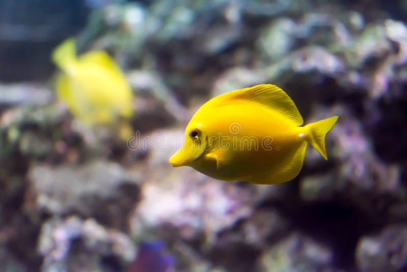 Onscherpe foto van een Gele zweempjevis Zebrasoma flavescens in een overzees aquarium stock afbeeldingen