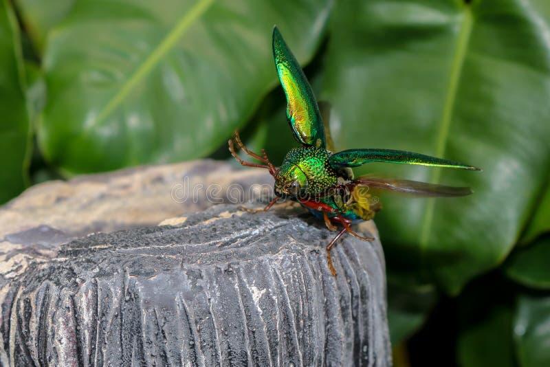 Onscherpe zachte buprestoidea vliegende insecten, Sternocera-aequisignata stock afbeelding