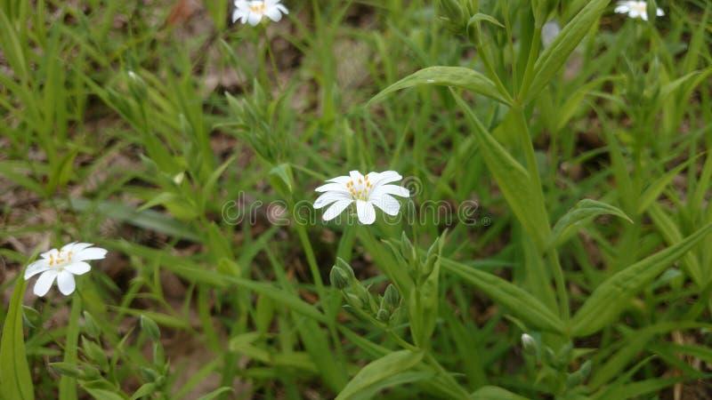 Onschuldige bloem in het bos stock foto