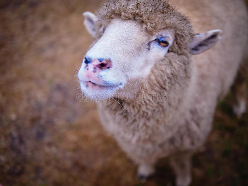 onschuldige schapen royalty-vrije stock foto's