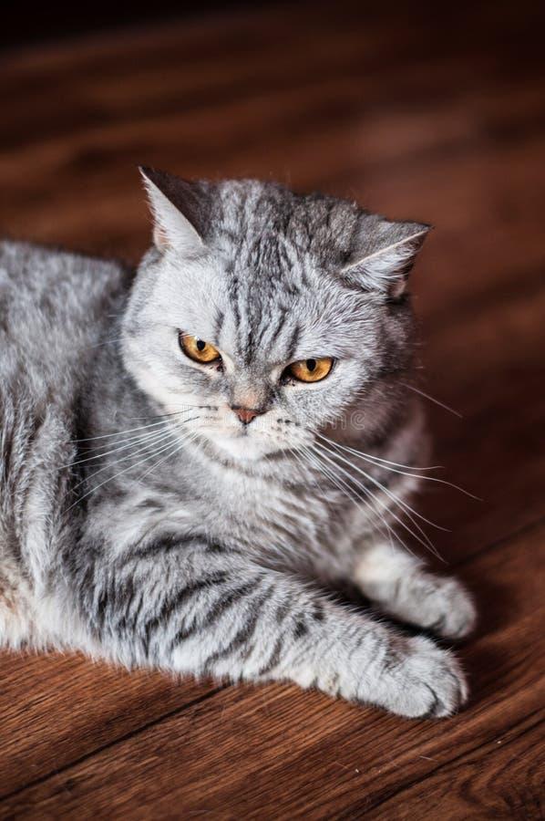 Ont brittiskt ligga för katt arkivfoto