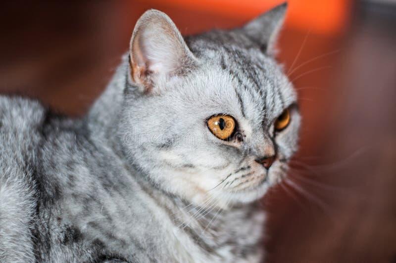 Ont brittiskt ligga för katt arkivfoton