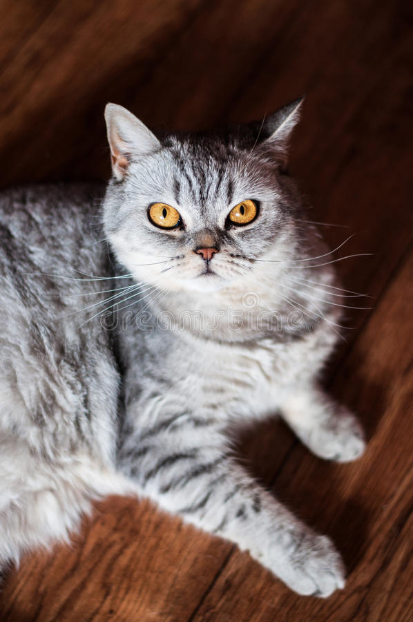 Ont brittiskt ligga för katt royaltyfri foto