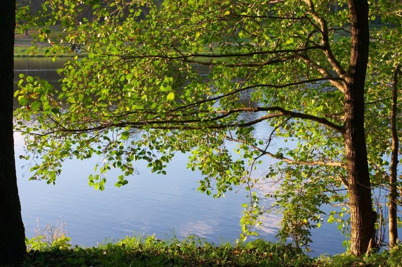 Ontano sul litorale del lago immagini stock libere da diritti
