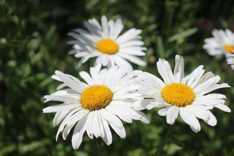 Ontario Dzikie stokrotki w pełnego kwiatu Makro- fotografii zdjęcie stock