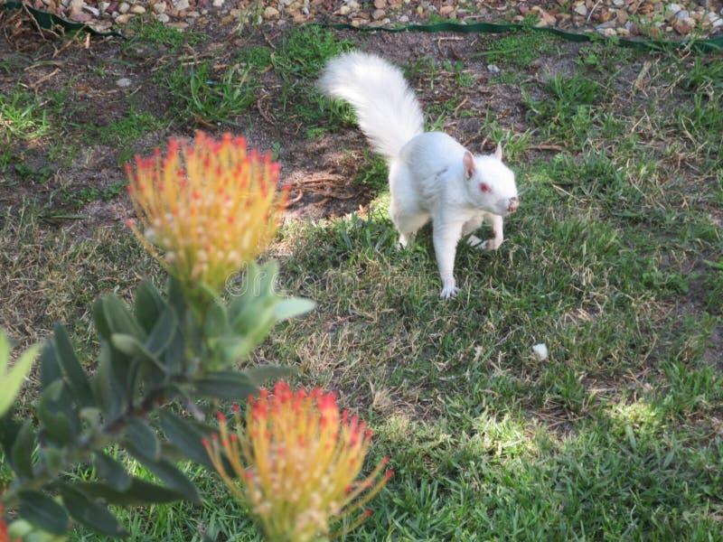 Ontdek de witte eekhoorn van het Albino-plein stock foto