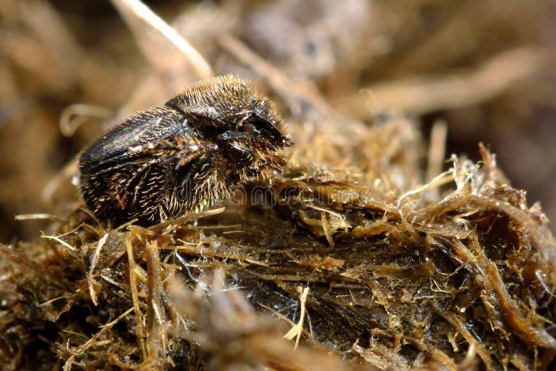 Onthophagus joannae ściga na końskim łajnie fotografia stock