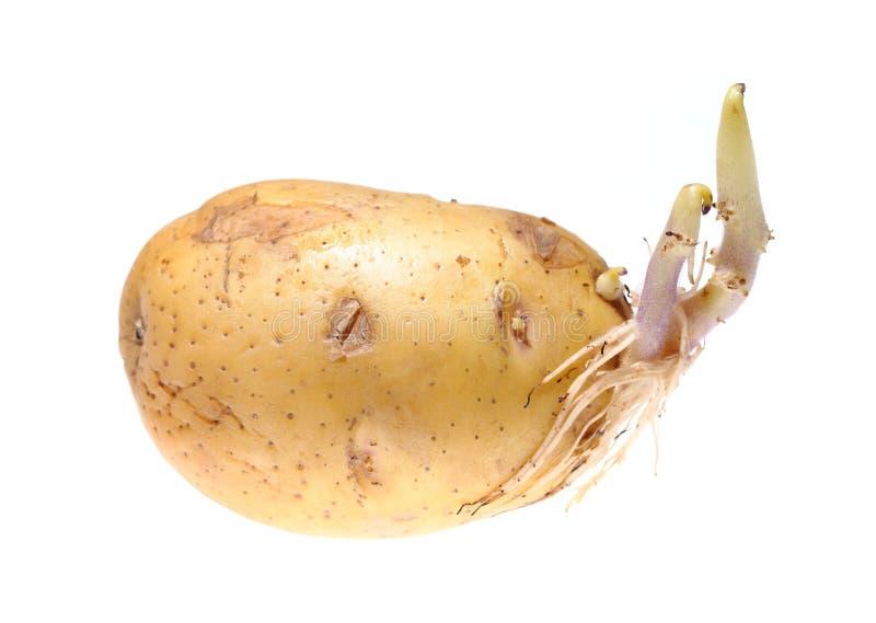 Ontkiemde aardappel die op witte achtergrond wordt geïsoleerd royalty-vrije stock foto