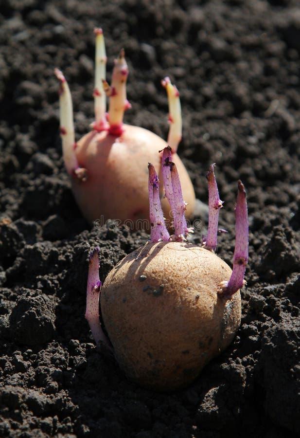Ontkiemde aardappel ter plaatse royalty-vrije stock afbeelding
