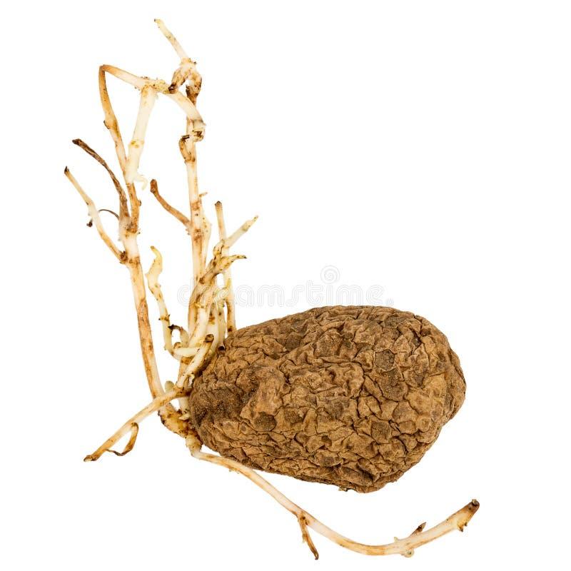 Ontkiemde gele die aardappel op witte achtergrond wordt ge?soleerd stock fotografie