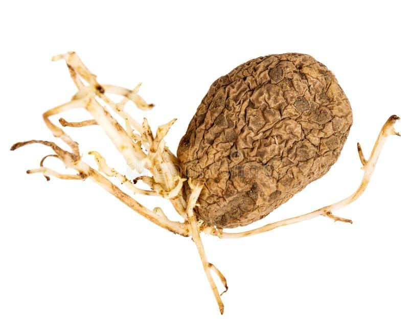 Ontkiemde gele die aardappel op witte achtergrond wordt ge?soleerd royalty-vrije stock afbeelding